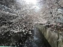 cerisier-tokyo12-renoma