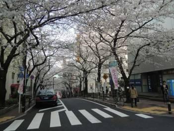 cerisier-tokyo2-renoma